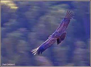 Amazing Pictures of Animals, Photo, Nature, Incredibel, Funny, Zoo, Andean Condor, Vultur gryphus, bird, Alex (7)