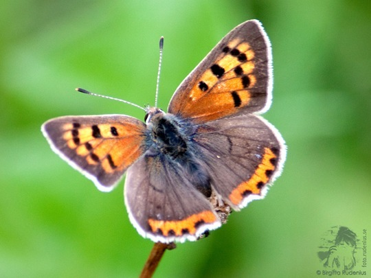 butterfly_20110730_brown2a