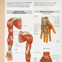 musculos braco