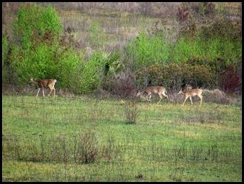 Buffalo, horses & deer 016