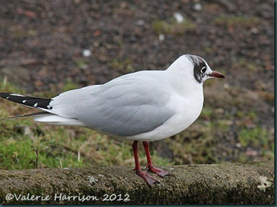 4-black-headed-gull
