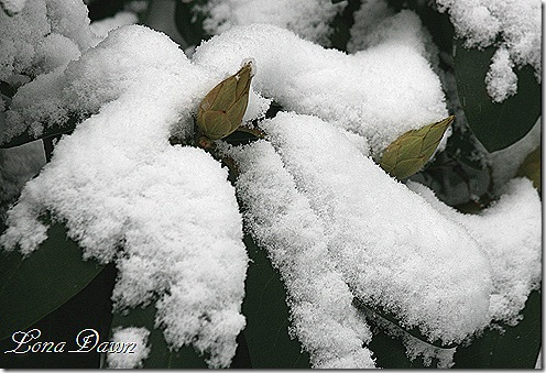 Rhododendron_Snow_Feb8