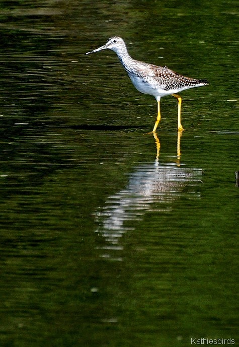 4. greater yellowlegs-kab