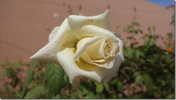 flor-flores-rosas-imagens160