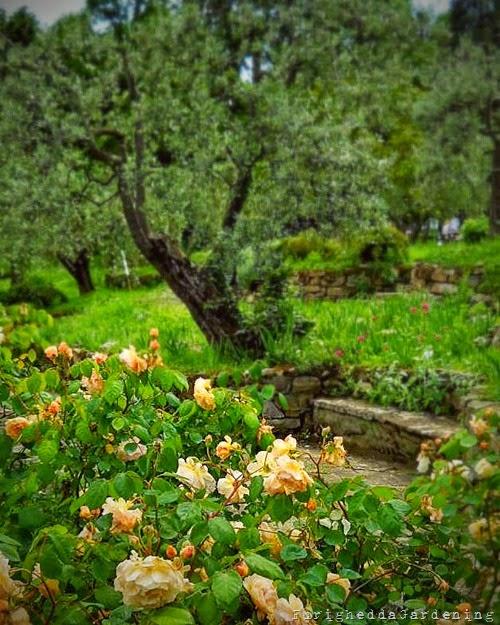 buff beauty rose apricot