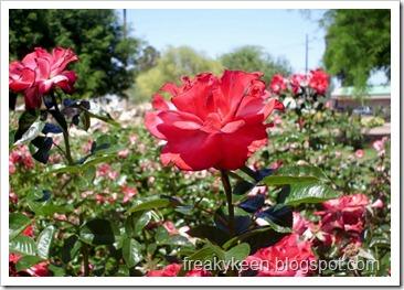 MCC Rose Garden 2