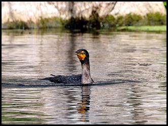 08 - Animals - Cormorant 4