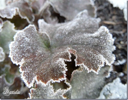 foglia  Heuchera Snow Angel