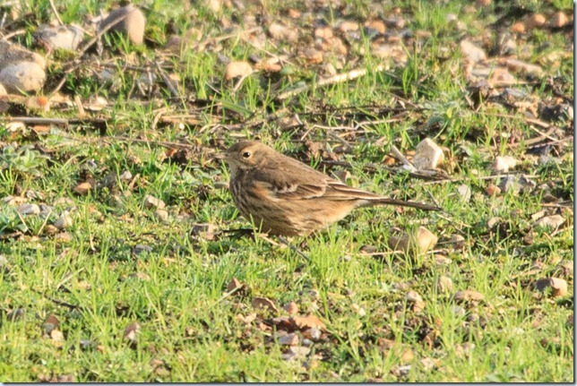 buff-bellied_pipit-1