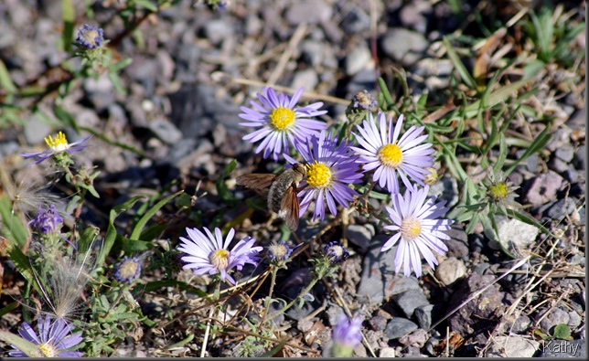 Fall Aster and bug