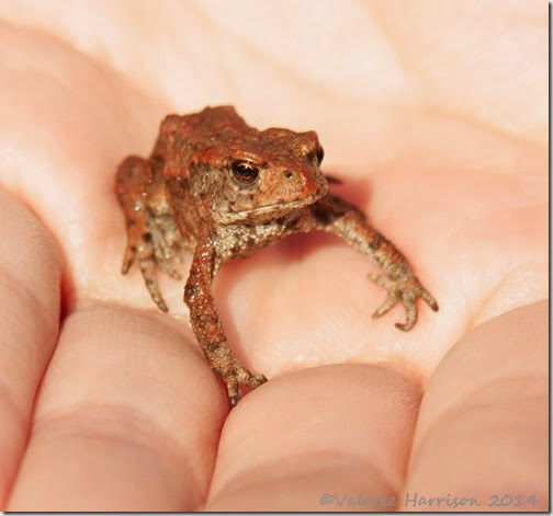 10-common-toad