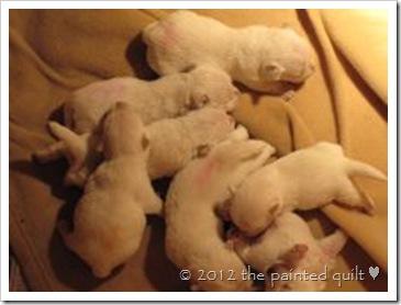 westie puppy 3