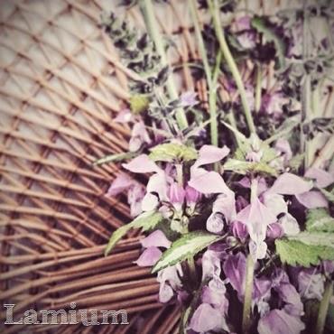 lamium maculatum spring wild flower