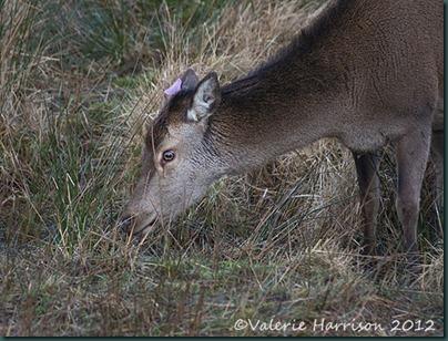 5-red-deer