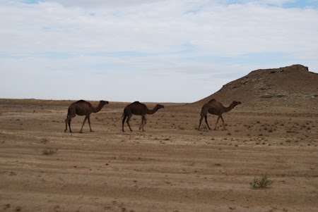 Imagini Turkmenistan: Camile prin desertul Karakum