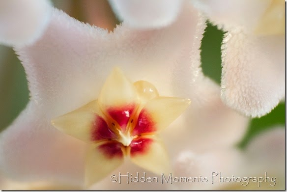 Hoya blossom 4