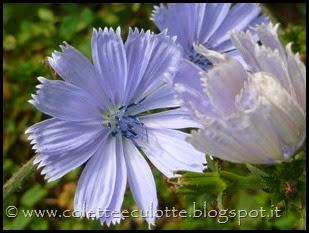Cichorium intybus (1)