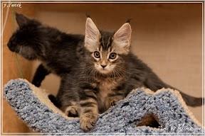 Фото история котят мейн кун в возрасте 7,5 недель 2