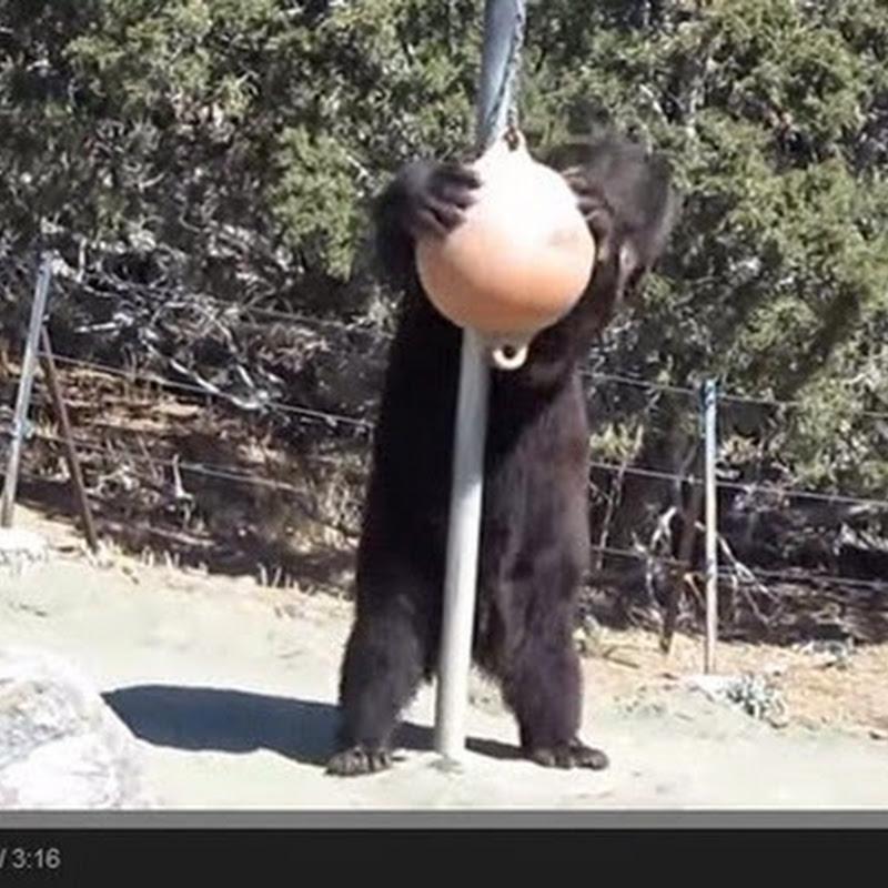 Η γυμναστική της αρκούδας