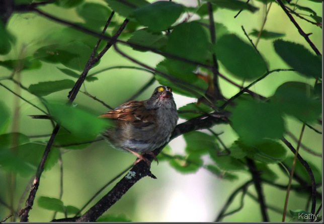 White-throated Sparrow with a berry in it's mouth