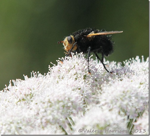 11-Giant-Tachinid-Fly-Tachina-Grossa