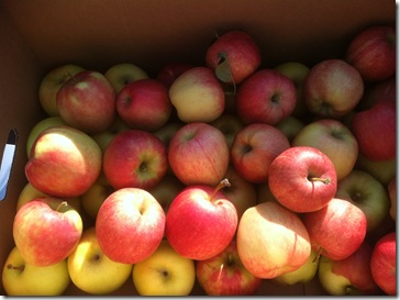 HR Apple Harvest