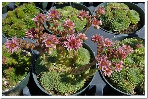 111001_succulent_gardens_sedums_in_flower_02