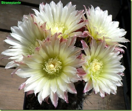 Eriosyce napina subsp. napina fioritura