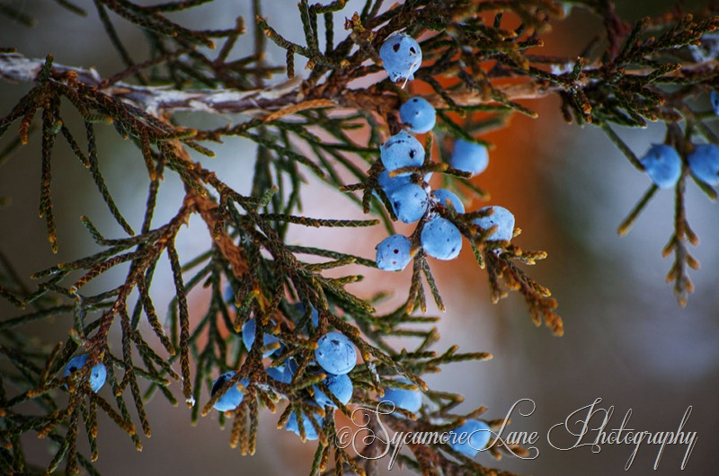 Juniper-web-SycamoreLane Photography