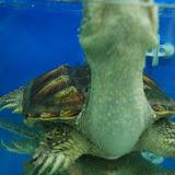 Shanghai - Pets market - La tortue monstrueuse