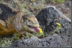 Land iguana & flower