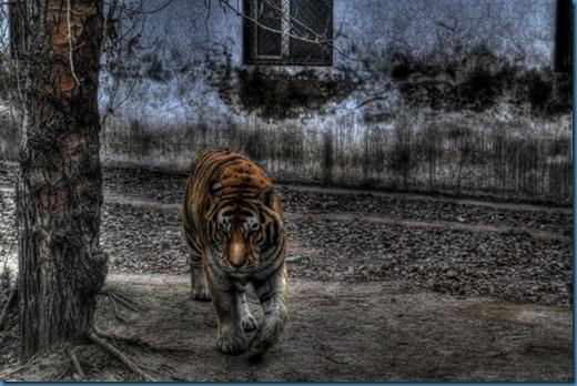 Tiger HDR