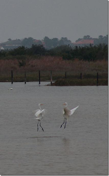 HPIM2000 egrets cropped
