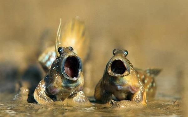 1- Peixe-saltador