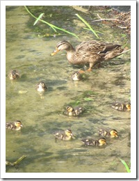 Florida vacation ma mallard duck with babies