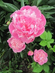 Spring 2012 dads pink double peonies w ant3