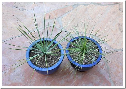 120226_Yucca-rostrata linearifolia_10