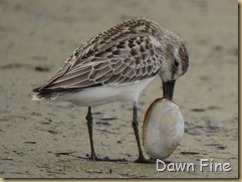 sandpiper with clam stuck_012