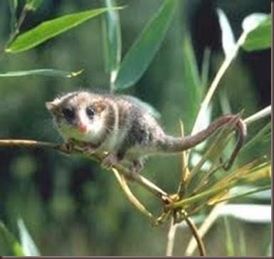 Amazing Animal Pictures Monito del monte (6)