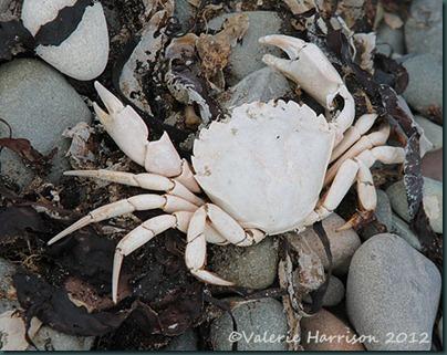 20-crab