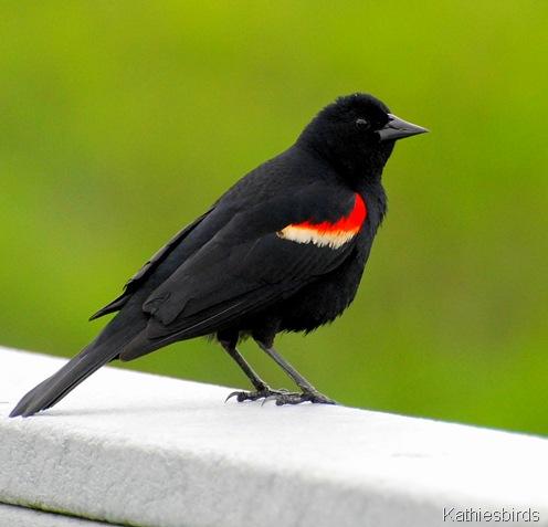 red-winged blackbird-kathiesbirds