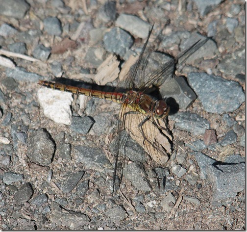 2-Common-Darter