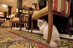 algonquin-cat