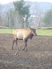 11.2011 Maine Elk farm lge male elk