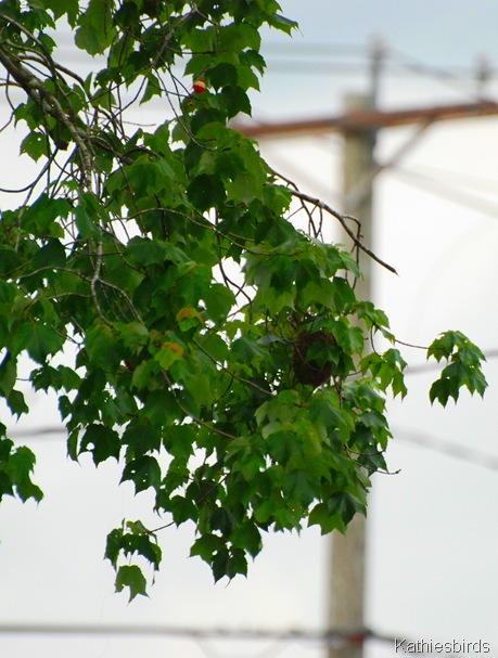 6. maple tree-kab