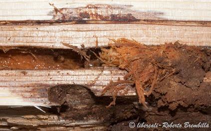 3-2014-02-20_larva Aegosoma scabricorne_Varenna (27)