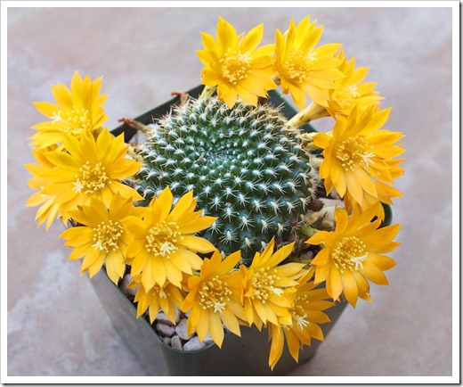 120607_Rebutia-krainziana-yellow-flowered_14