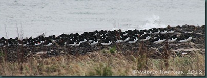 5-oystercatchers