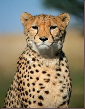 Amazing Animal Pictures Cheetah (1)