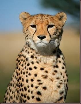 Amazing Animal Pictures Cheetah (1)